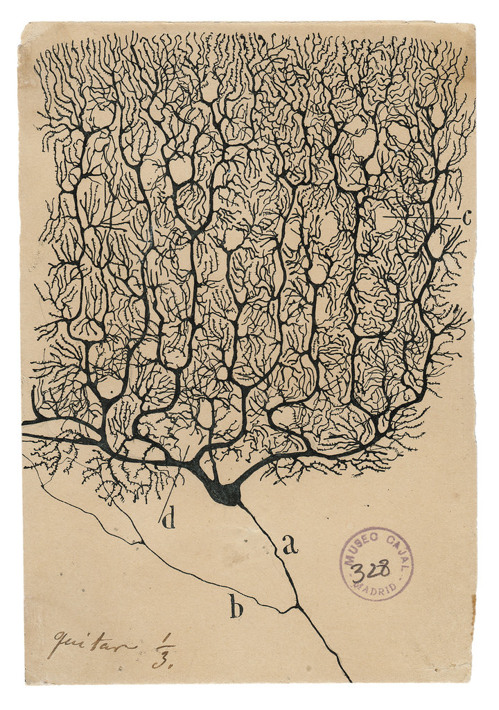 This image has an empty alt attribute; its file name is cajal-purkinje-neuron-jumbo.jpg