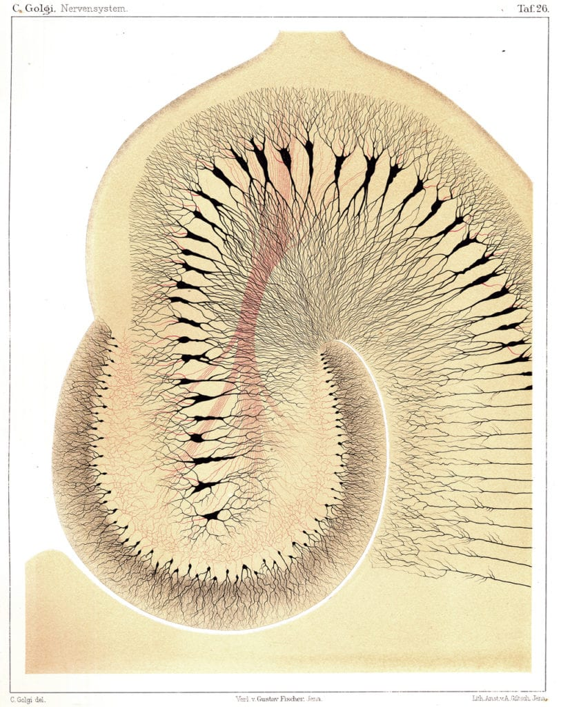 This image has an empty alt attribute; its file name is golgi-hippocampus.jpg